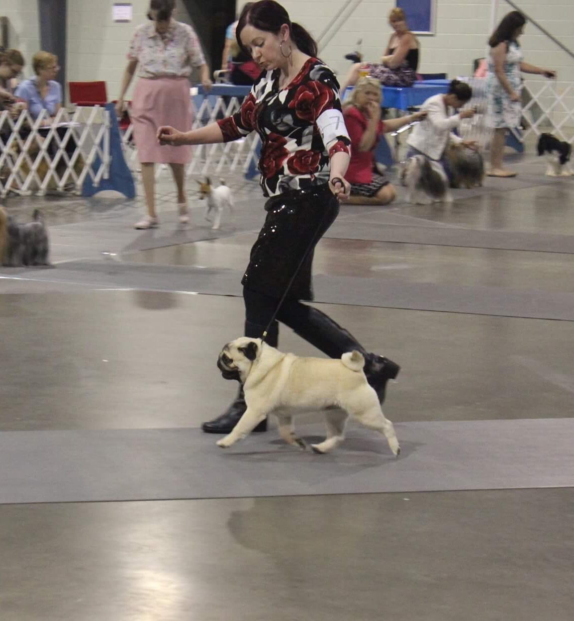 Grand Champion Pug Prince in the ring