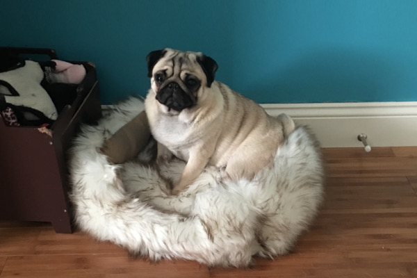 Martini the Pug sitting in a bed