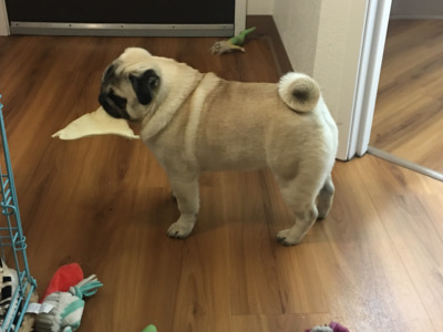 Prince Pug Champion with toy in mouth