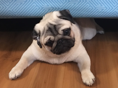 Prince Puppy pug under bed