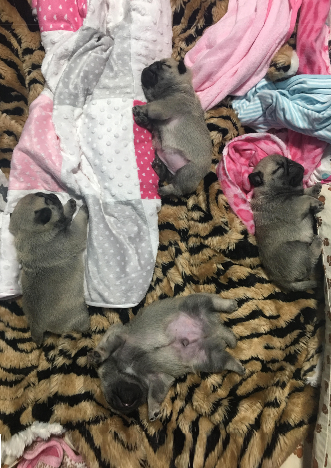 Pug Puppies on a blanket